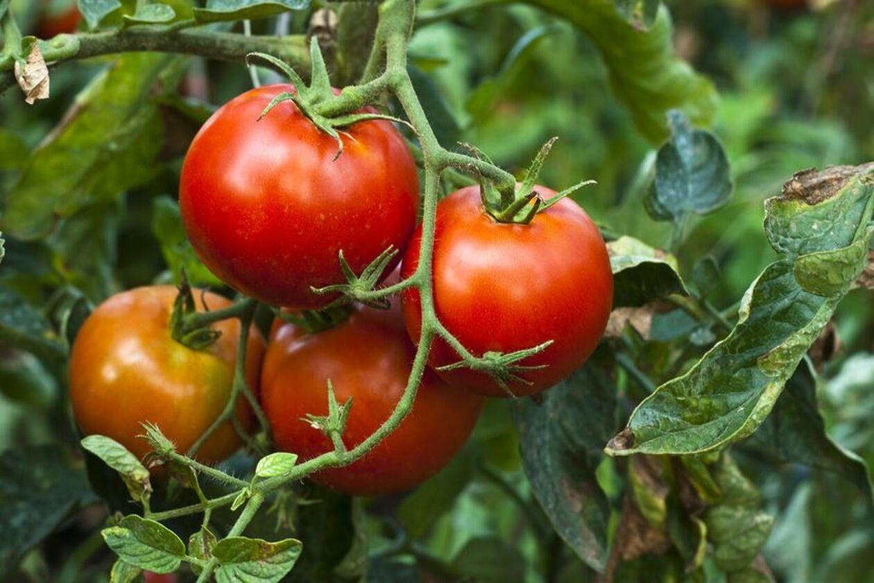 Pomidor zawierająwitaminę C
