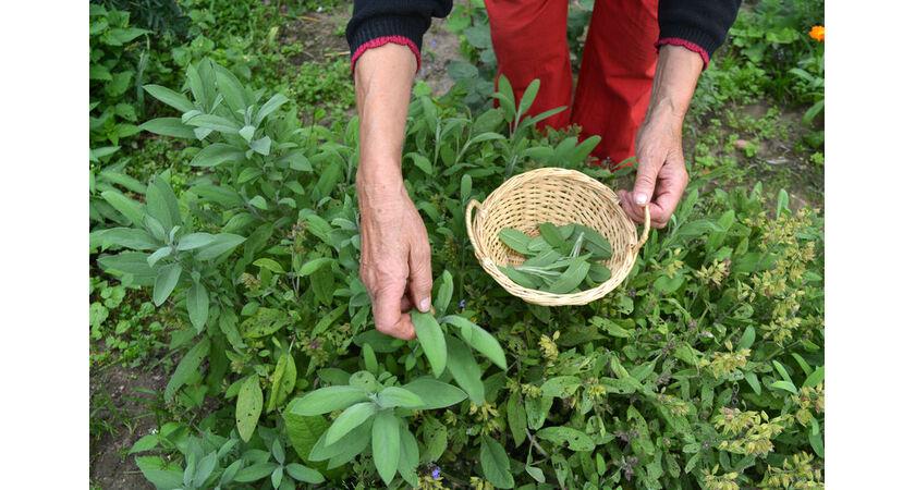 Kobieta zbiera zioła na menopauzę