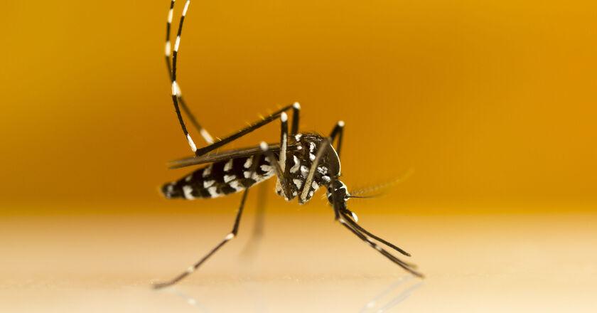 Owad komar w srebrne paski