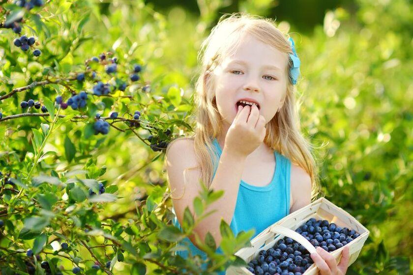 Dziewczynka je borówki amerykańskie z domowej uprawy