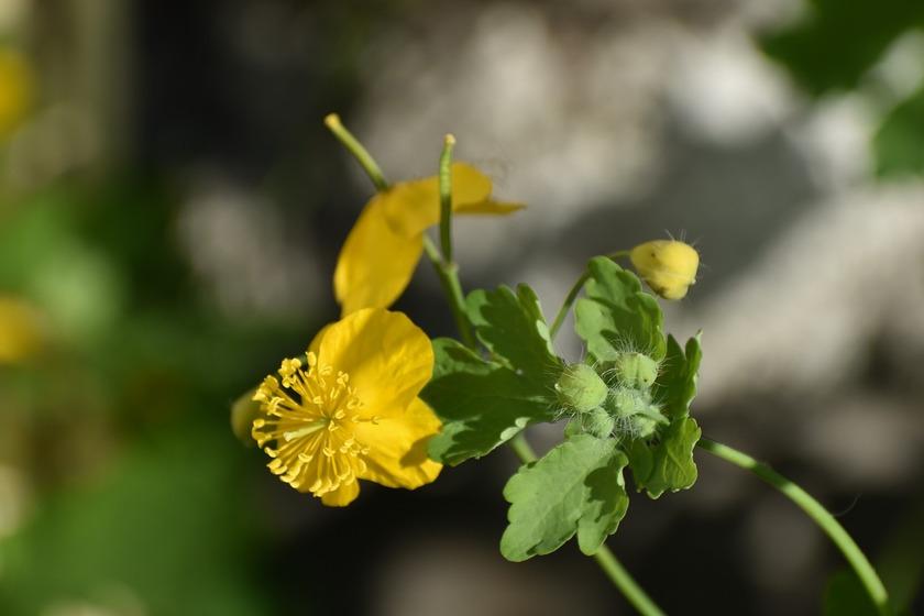 Jaskółcze ziele dziko rosnące