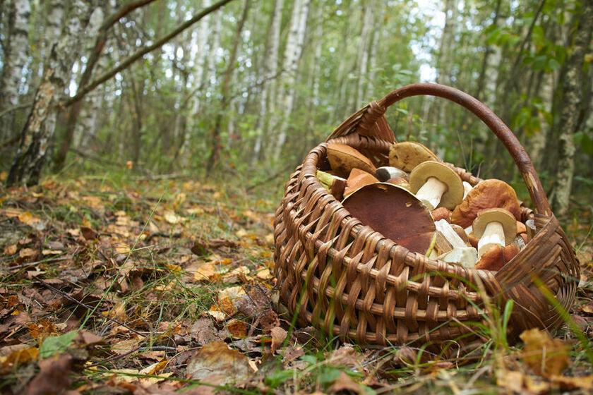 Grzyby w koszyku w lesie