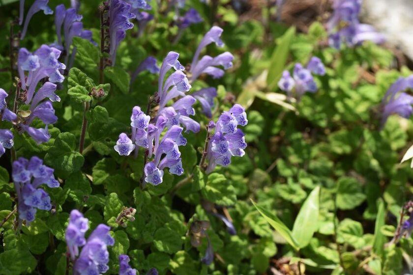 Kwiaty tarczycy bajkalskiej