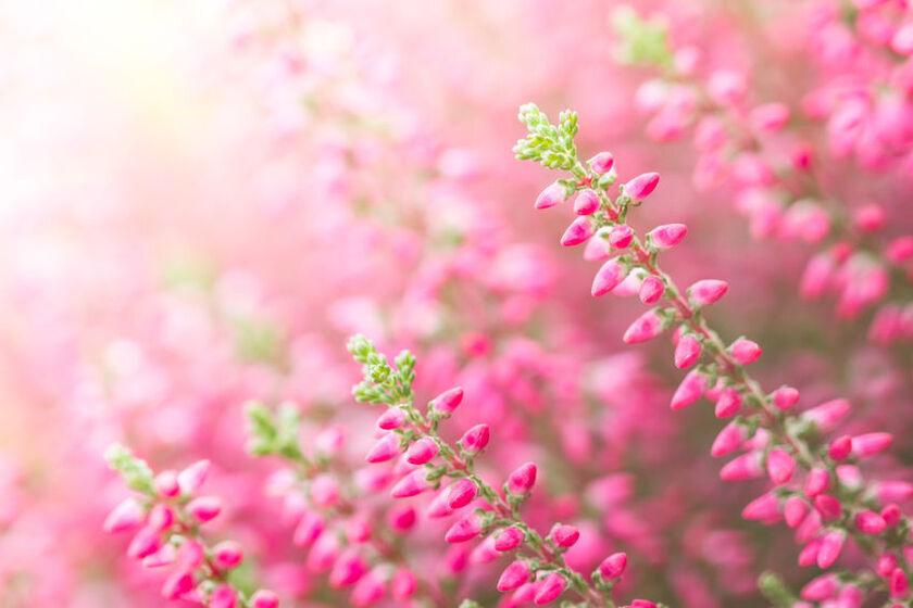 Kwiaty wrzosu