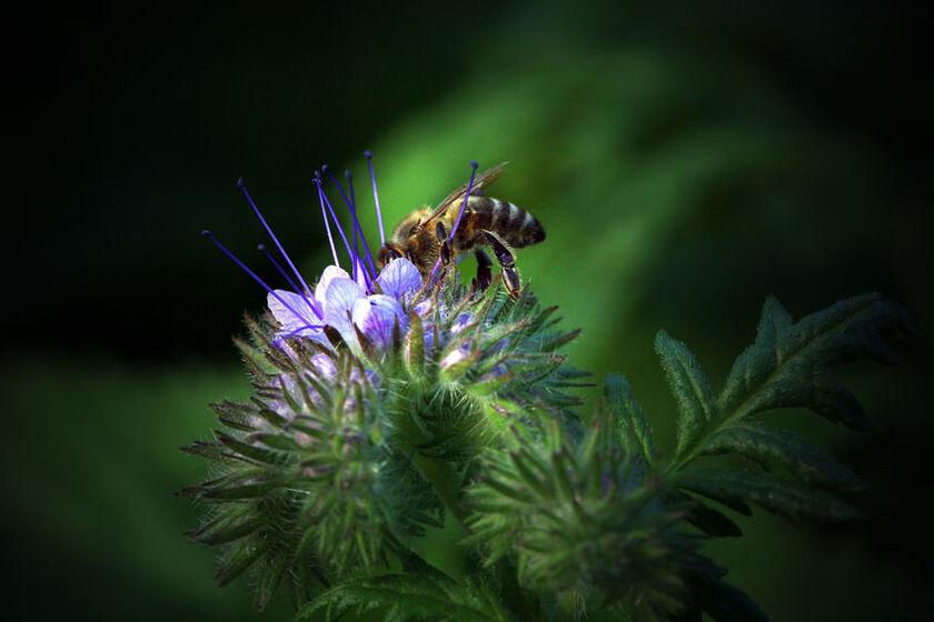 Pszczoła na facelii błękitnej