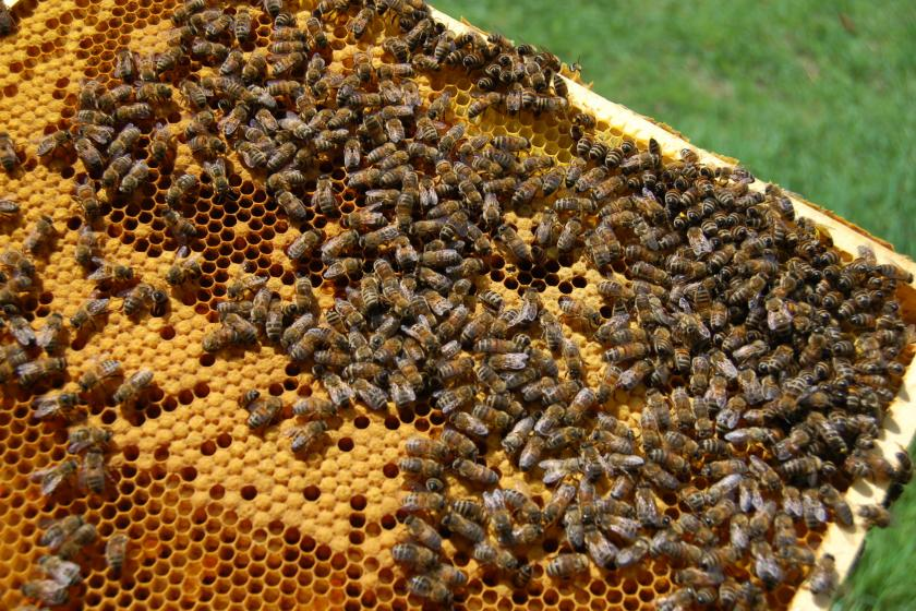 pszczeli pyłek