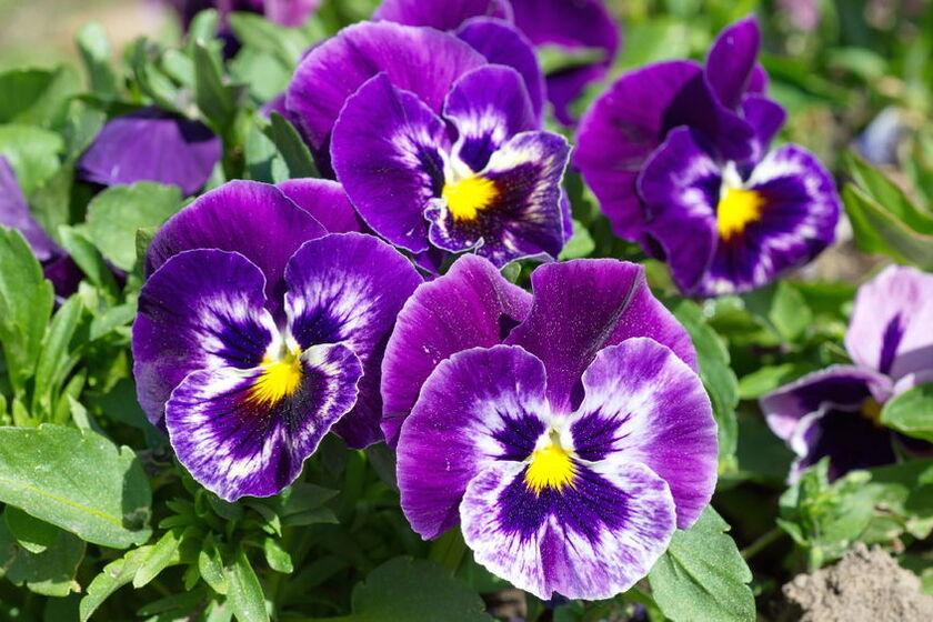 Kwiat fiołka trójbarwnego