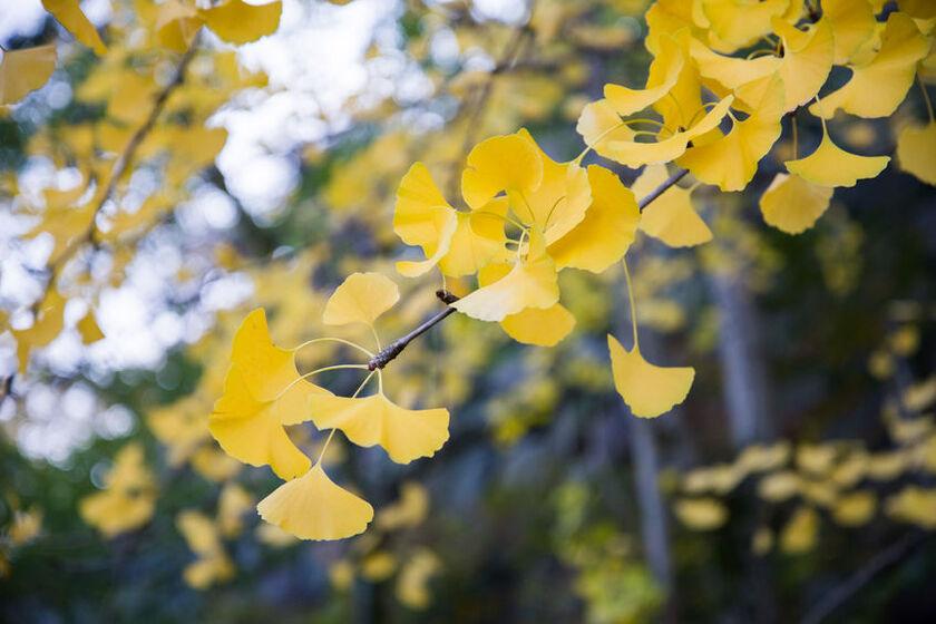 Gatunek drzewa z rodziny miłorzębowatych