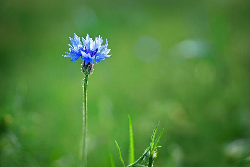 Kwiat chabru