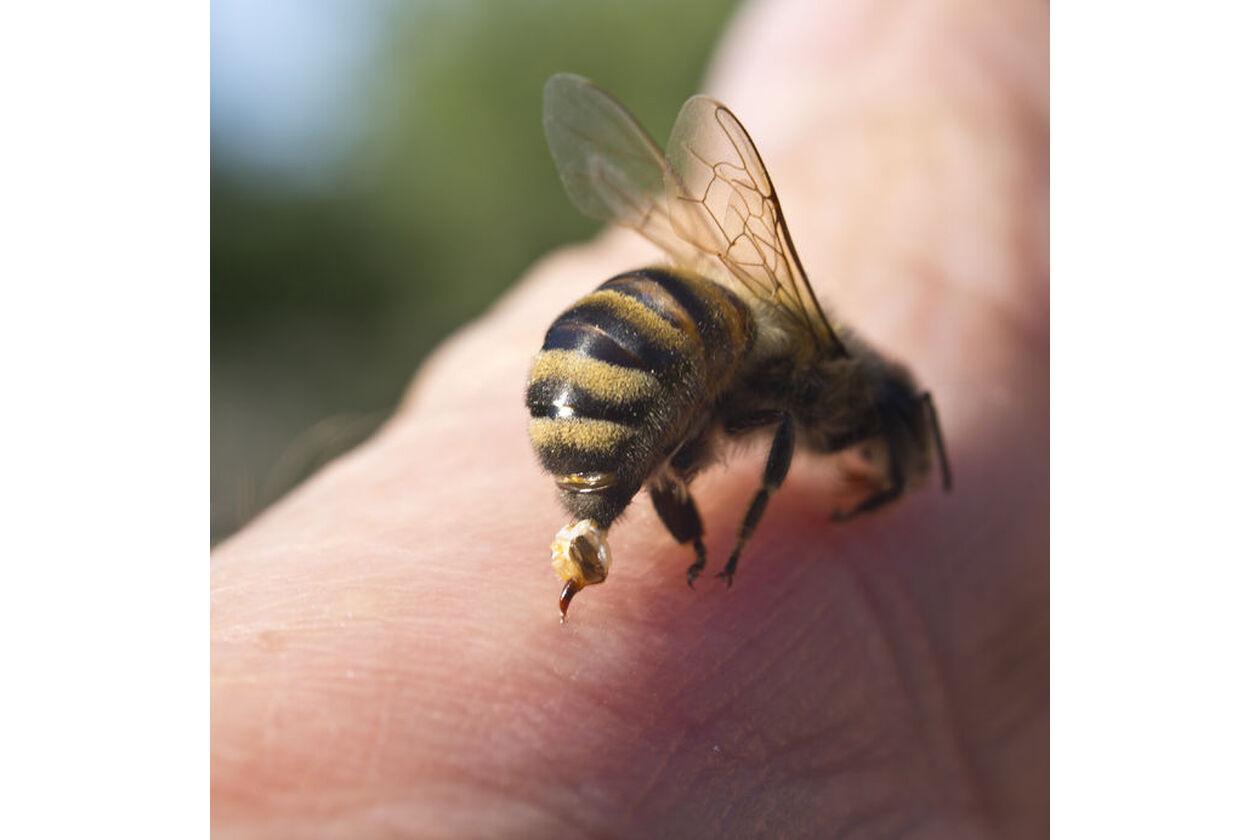 Pszczoła atakująca człowieka