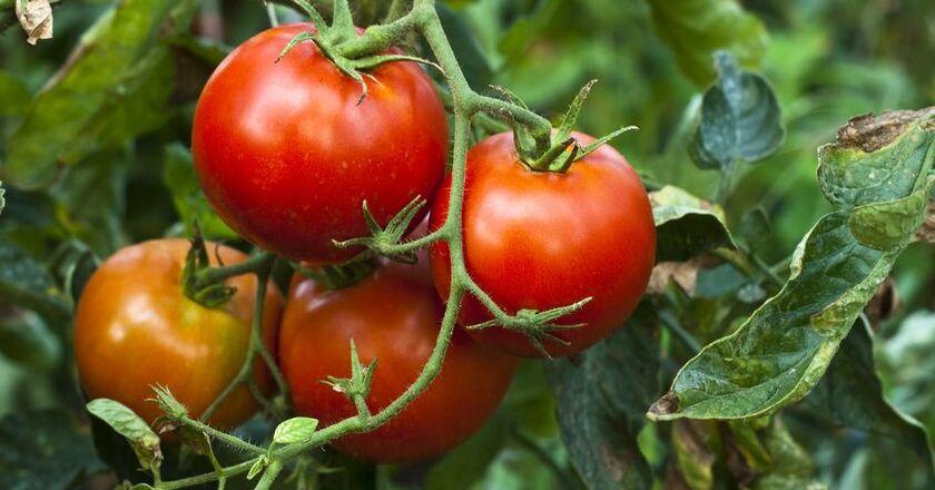 Witaminy w pomidorze